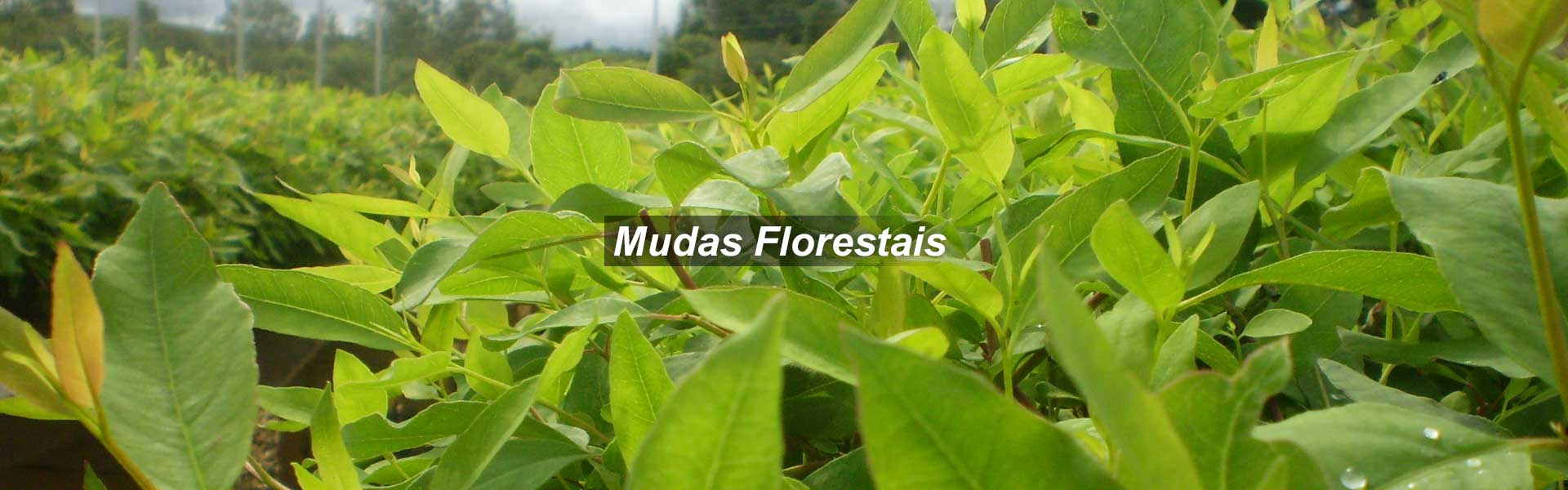 Mudas Florestais